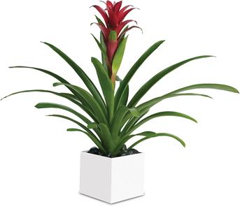 Bromeliad Beauty. Description: Related to the pineapple plant, perhaps because of its sweetness, this gorgeous beauty adds red and tropical greenery to any room.