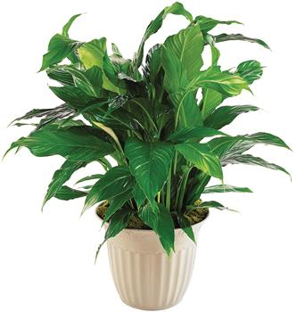 Simply Elegant. Description: Known as a Peace Lily, this spathiphyllum plant with its dark green shiny leaves produces lovely white flowers all year.